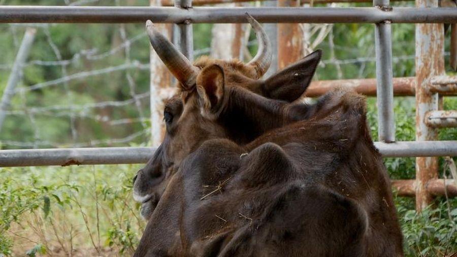 Vì sao đàn bò tót lai ở Ninh Thuận bị bỏ đói, gầy trơ xương?