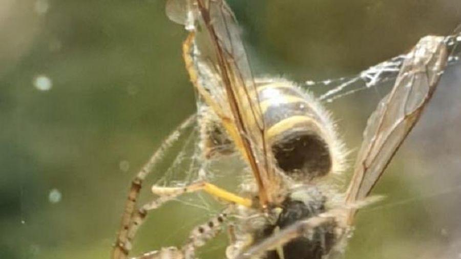 Lạc vào mạng nhện, ong bắp cày bị xé toạc đầu đau đớn
