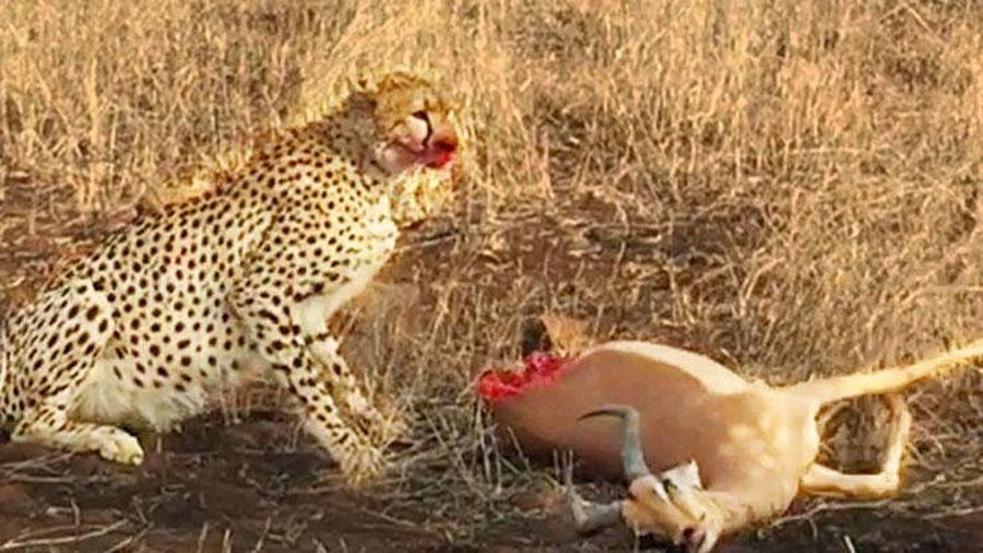 'Lạnh gáy' trước cảnh báo săn 'xẻ thịt' linh dương khi con mồi đang còn sống