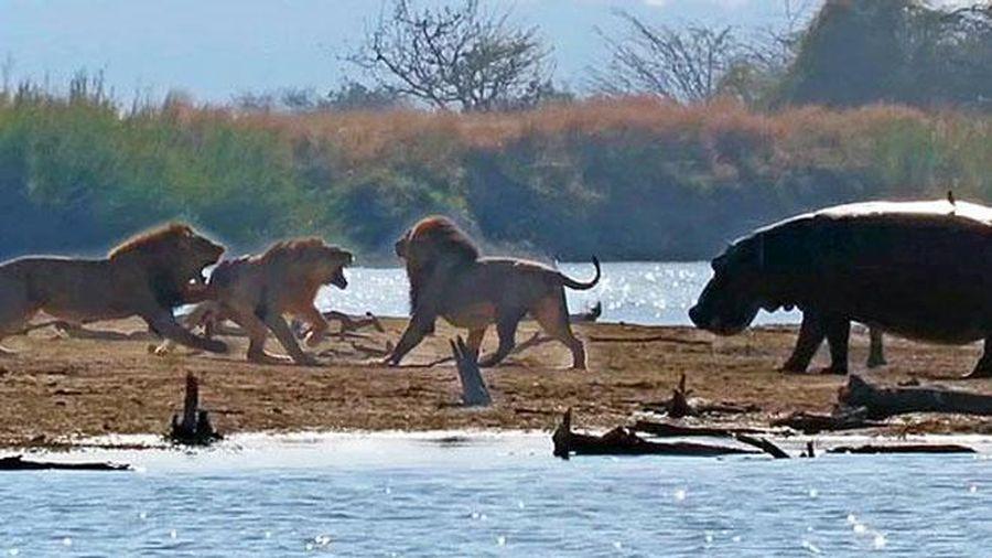 Thấy sư tử ác chiến kinh hoàng, hà mã liền tới can ngăn nhưng mọi chuyện đã quá muộn màng