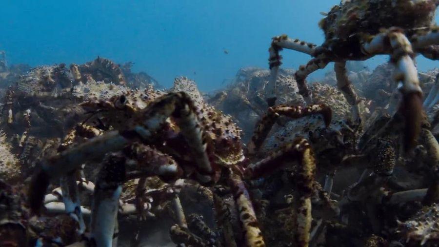 Hàng nghìn con cua nhện tụ tập chống kẻ thù