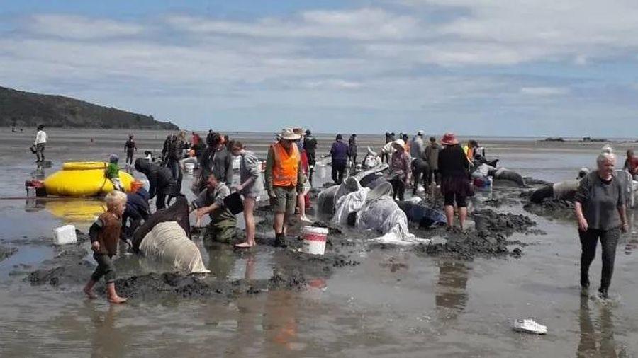 Hơn chục cá voi chết vì mắc cạn trên bãi biển New Zealand