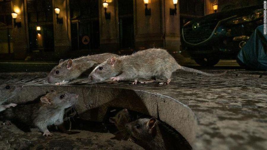 Thành phố nào nhiều chuột nhất nước Mỹ?