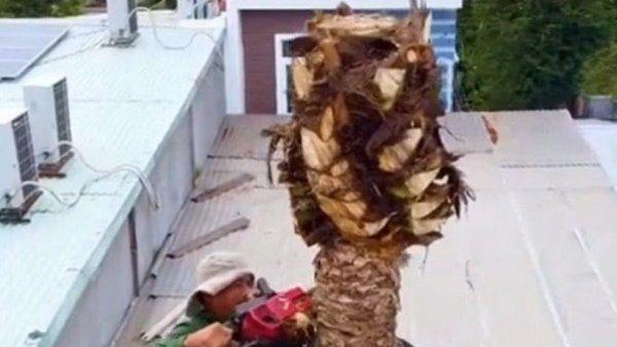 Dân mạng choáng váng xem người đàn ông đu đưa cưa đổ cây dừa