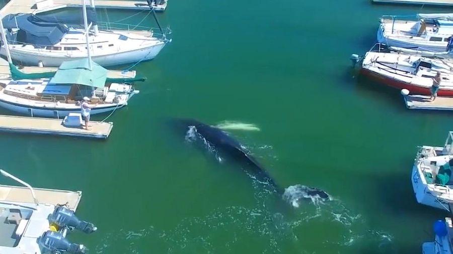 Cá voi lưng gù mắc kẹt trong bến du thuyền