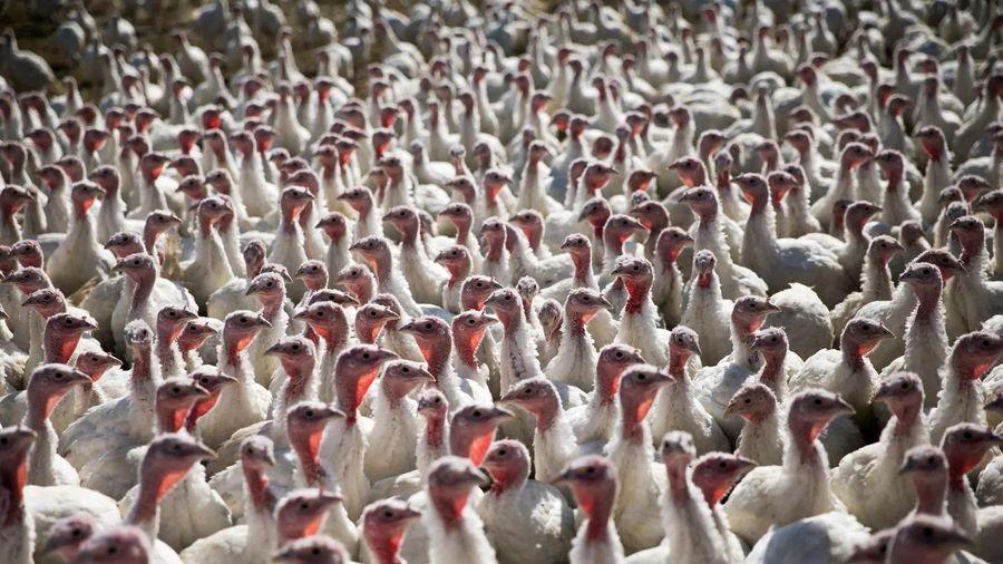 Nông dân Mỹ lo 'thừa gà, thiếu khách' trước mùa Lễ Tạ ơn