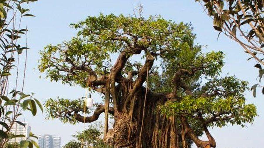 Chiêm ngưỡng cây sanh được 'hét giá' 2,5 tỷ đồng