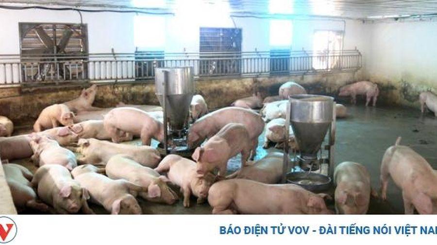 Người chăn nuôi lo lắng mầm bệnh từ 'lợn chạy lũ'