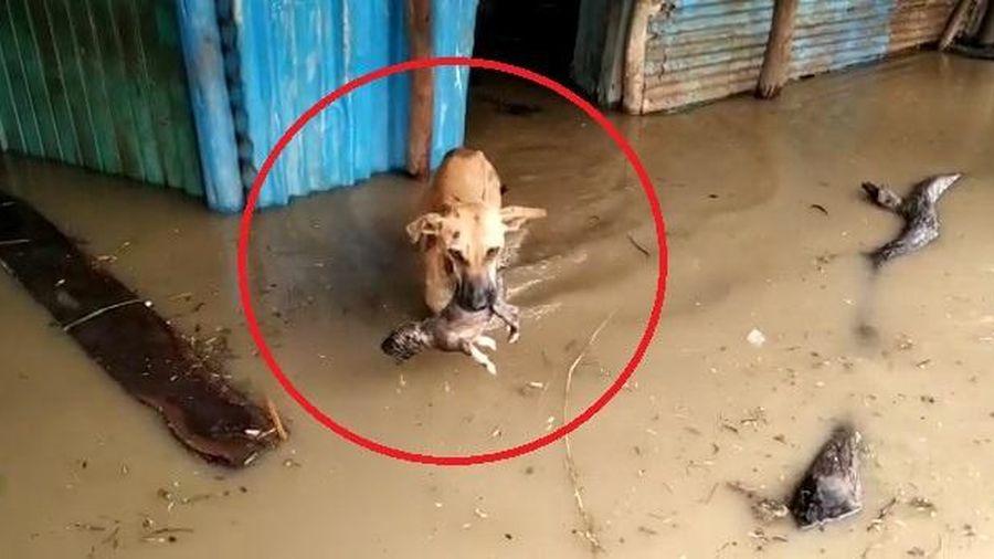Chó mẹ tha con khỏi ngôi nhà bị ngập lụt