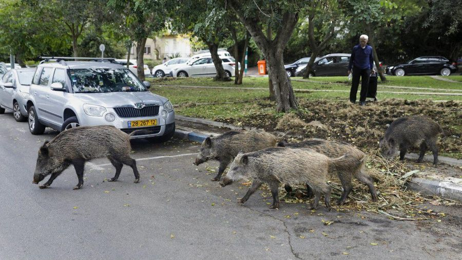 Lợn rừng gây hại khắp nơi, dân Rome lại nổi giận khi chúng bị giết