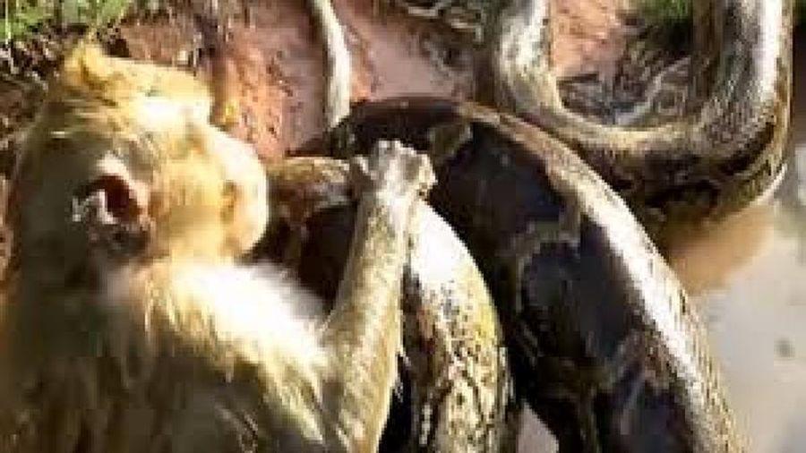 đàn khỉ hợp sức cứu con khỏi con trăn khổng lồ