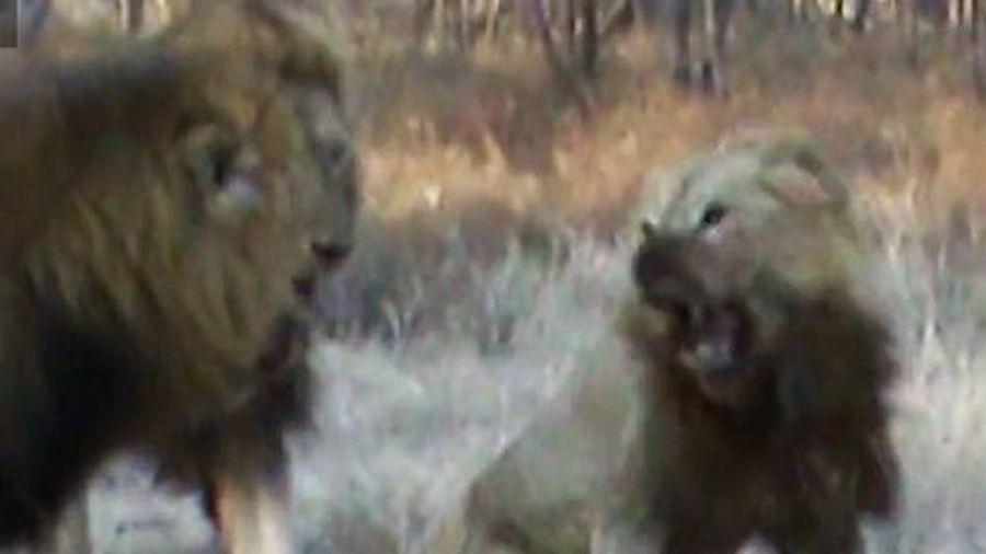 Bị đồng loại tấn công, sư tử tưởng sẽ chết, không ngờ lại được con vật này cứu mạng