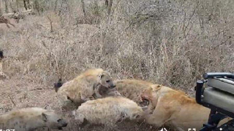 Cặp sư tử vẫn bị loài vật này 'nẫng' mất mồi ngon một cách trắng trợn