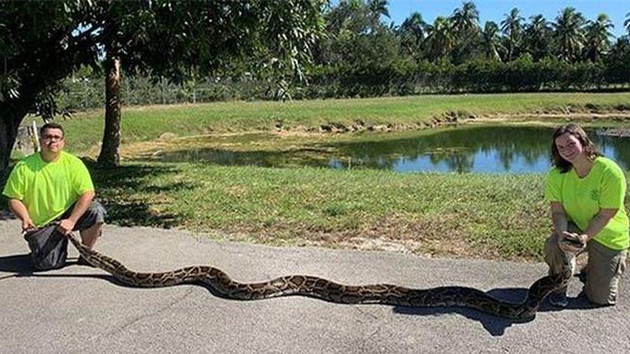 Trăn Nam Mỹ dài 6m dẫn 'bạn đồng hành' qua đường