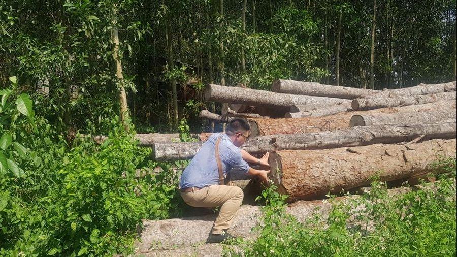 Trồng rừng 30 năm vẫn không được khai thác?