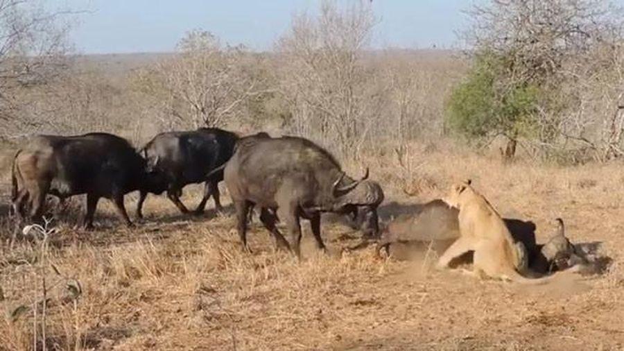Đồng loại giải cứu muộn màng, trâu rừng chết thảm trước nanh vuốt sư tử