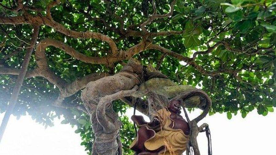 Ngắm cây si 'Thạch Sanh' không phải cứ có tiền là mua được