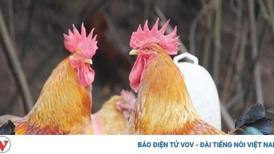 Hội thi 'Vua gà' Tiên Yên ở Quảng Ninh có gì đặc biệt?