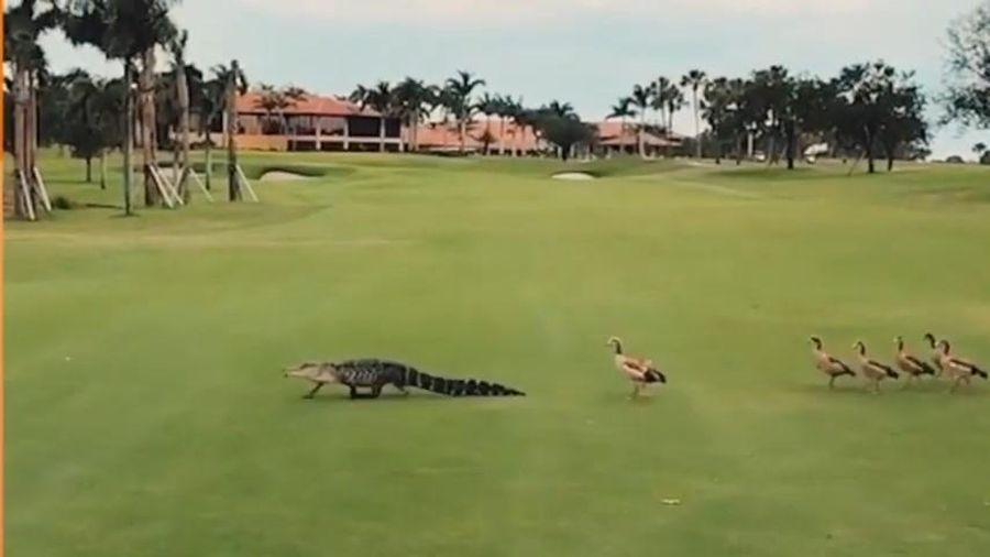 Cá sấu bị bầy vịt đuổi ra khỏi sân golf