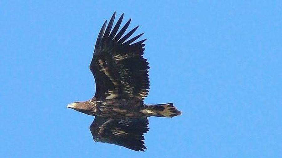 Loài chim tưởng như đã tuyệt chủng hơn 100 năm về trước, nay lại hiên ngang vỗ cánh trên bầu trời nước Anh