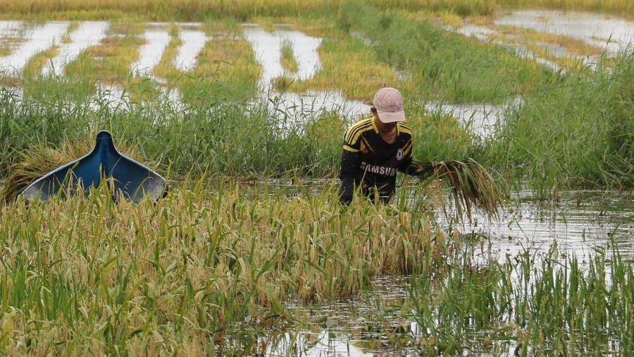ĐBSCL: Lúa chín ngập trong nước, lên mộng nhưng vẫn chưa thu hoạch được