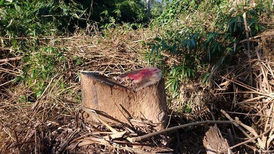 Rừng phòng hộ có lực lượng chuyên trách bảo vệ bị tàn phá