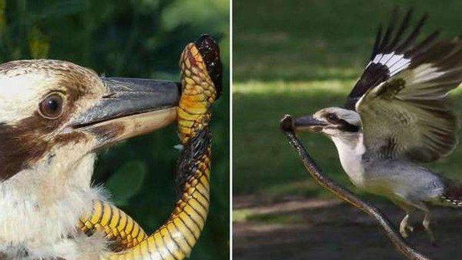Clip: Chim bói cá nhận kết đắng vì đụng phải rắn độc