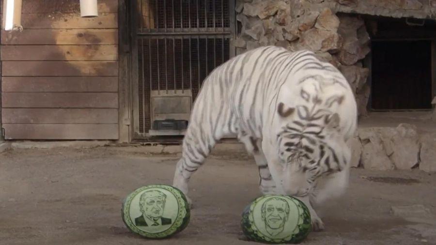 Hổ và gấu ở Nga 'dự đoán' kết quả bầu cử Mỹ