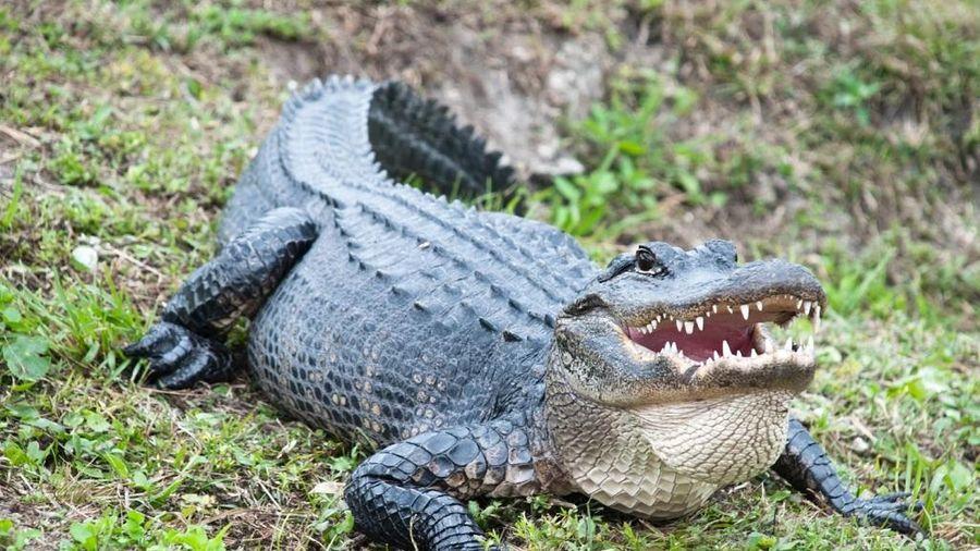Phát hiện cá sấu có khả năng tái sinh đuôi bị mất