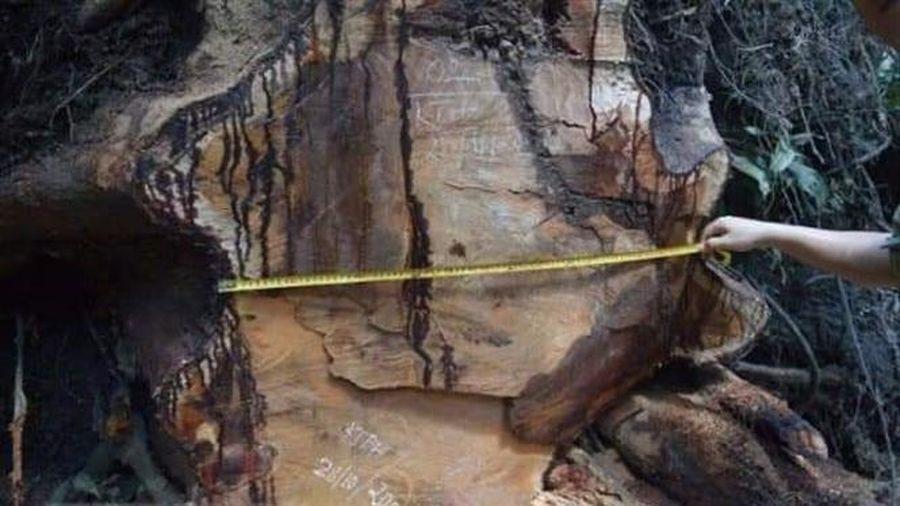 Vụ phá rừng hương cổ thụ tại Gia Lai: Thiệt hại gần 20m3 gỗ