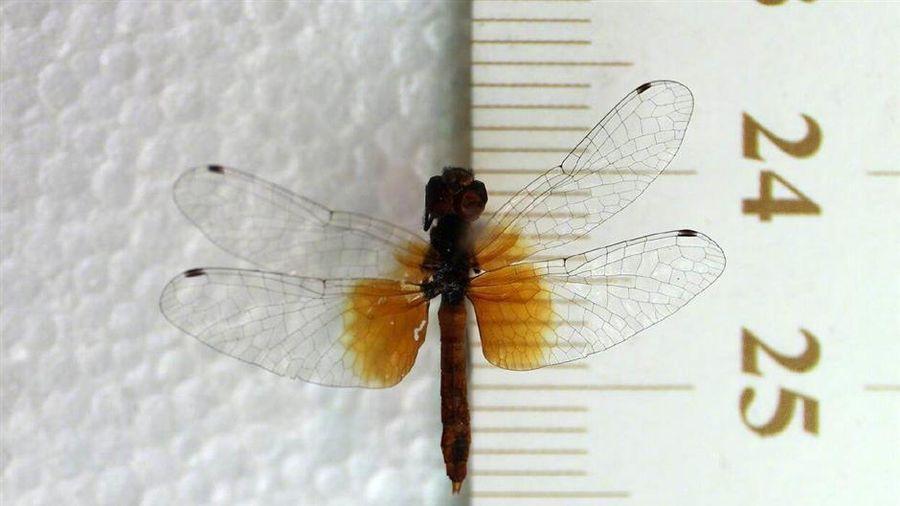 Phát hiện quần thể chuồn chuồn nhỏ nhất thế giới tại Trung Quốc