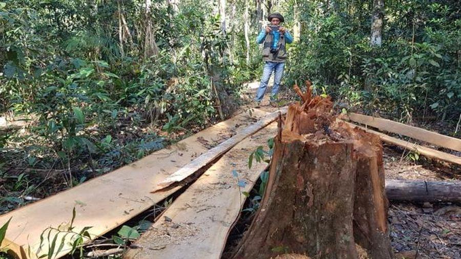 Lâm Đồng: Nhiều cây Bạch tùng cổ thụ bị cưa hạ, nằm ngổn ngang trong rừng