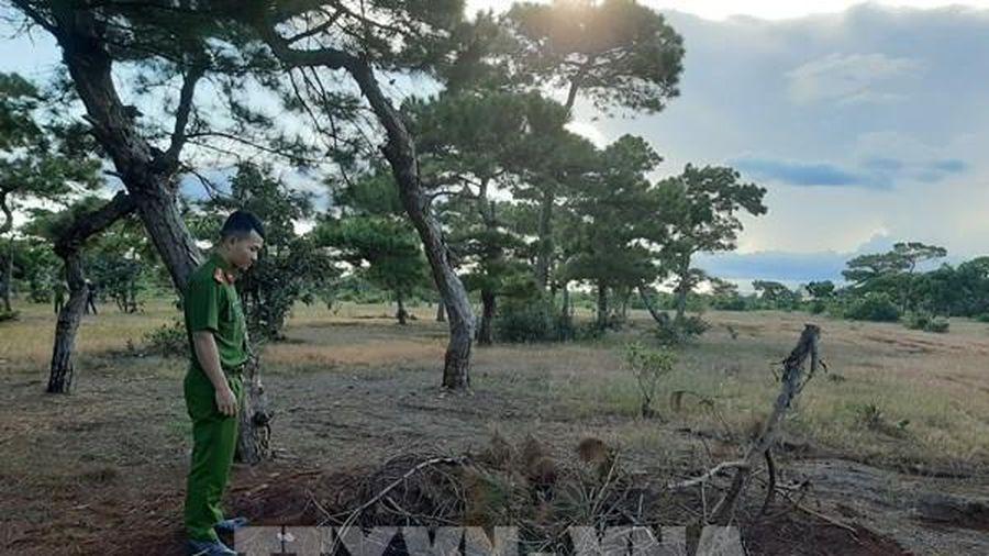 Cảnh báo tình trạng đào trộm cây thông hàng chục năm tuổi tại Gia Lai