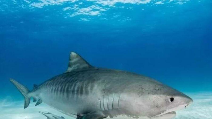 Nhà khoa học bị cá mập hổ 4m tấn công, cắn nhiều nhát vào đùi
