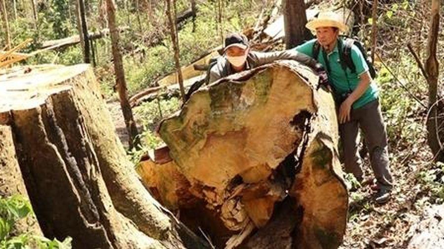 Rừng bạch tùng hàng trăm năm tuổi bị cưa hạ