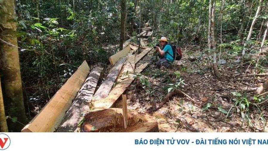 Lâm Đồng phát hiện vụ phá rừng bạch tùng