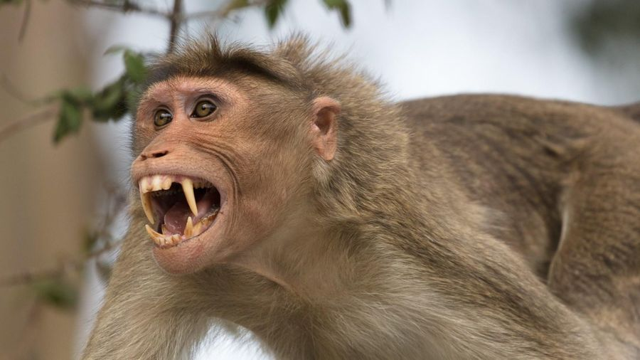 Bắn thuốc mê để di dời đàn khỉ khỏi Tòa thánh ở Tây Ninh