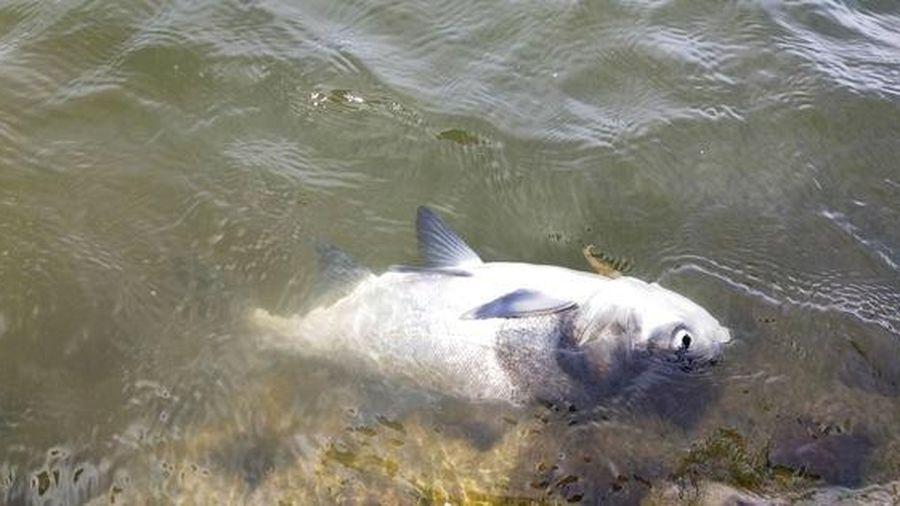 Đà Lạt: Cá lớn chết bất thường ở hồ Xuân Hương