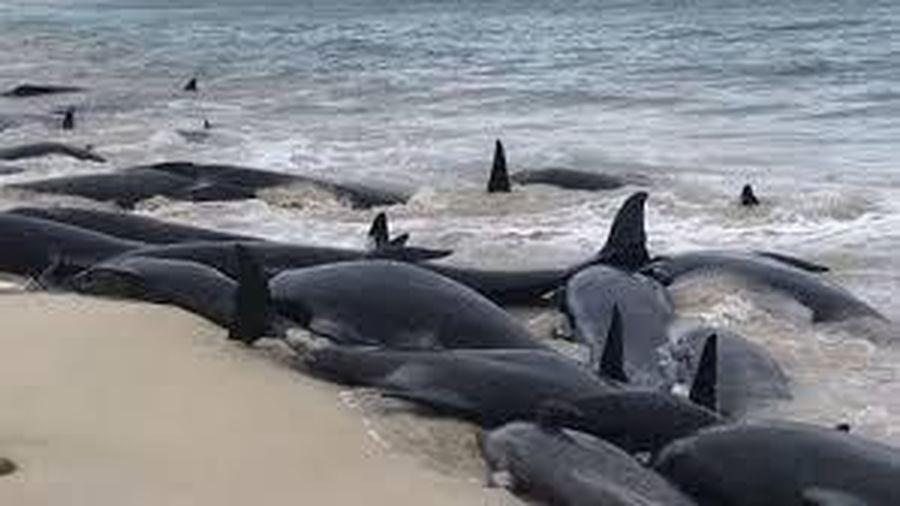 Gần 100 con cá voi chết sau khi mắc cạn hàng loạt ở New Zealand