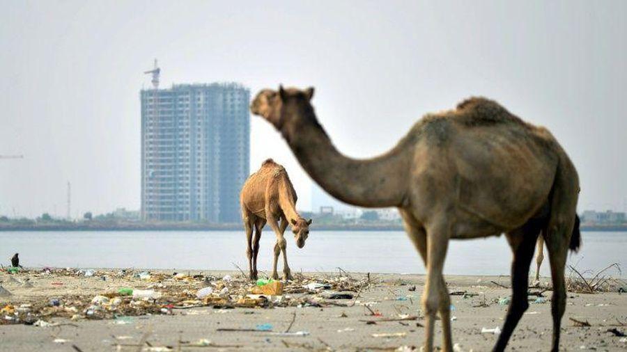 Đô thị hóa đe dọa rừng ngập mặn trên đảo Pakistan
