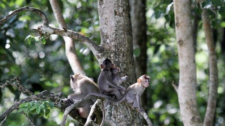 Tây Ninh lên phương án di dời đàn khỉ tại Tòa thánh Cao đài