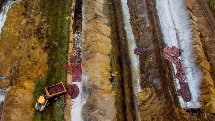 Xác chồn nâu trồi lên trên hố chôn như 'zombie' ở Đan Mạch