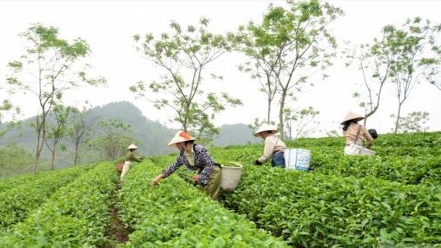 Những vùng chè nổi bật ở Tuyên Quang