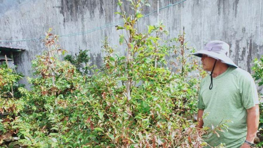 Phú Yên: Vắng thương lái thu mua mai lá, quất tết
