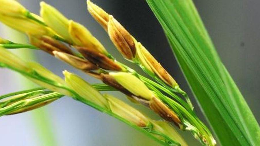 Bệnh lem lép hạt giai đoạn lúa trổ quản lý như thế nào?