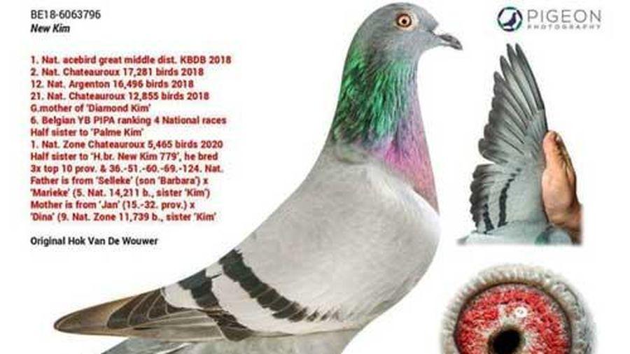 Cận cảnh chim bồ câu đắt nhất thế giới có giá hàng chục tỉ đồng