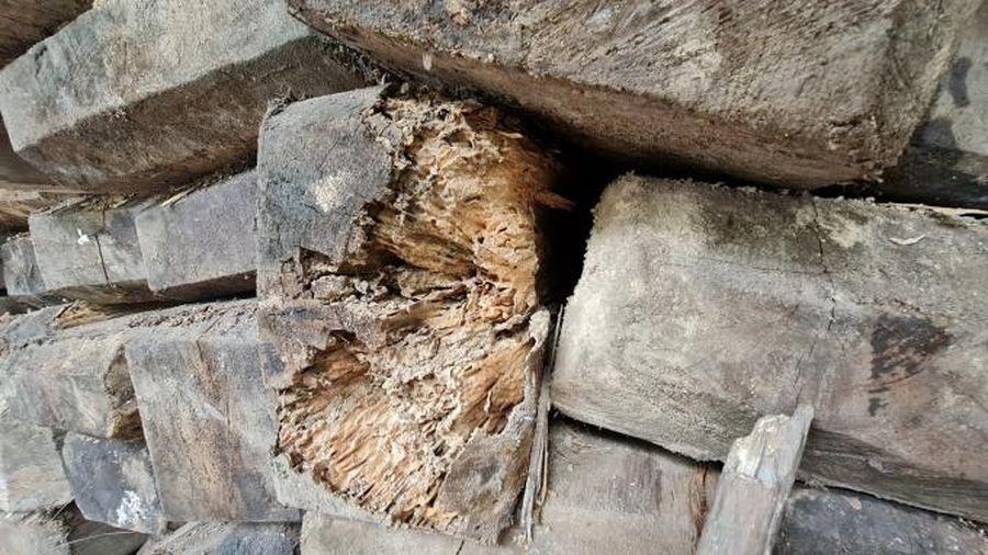 Nghệ An: Cả trăm m3 gỗ quý chờ mục rỗng ngay tại Ban quản lý rừng