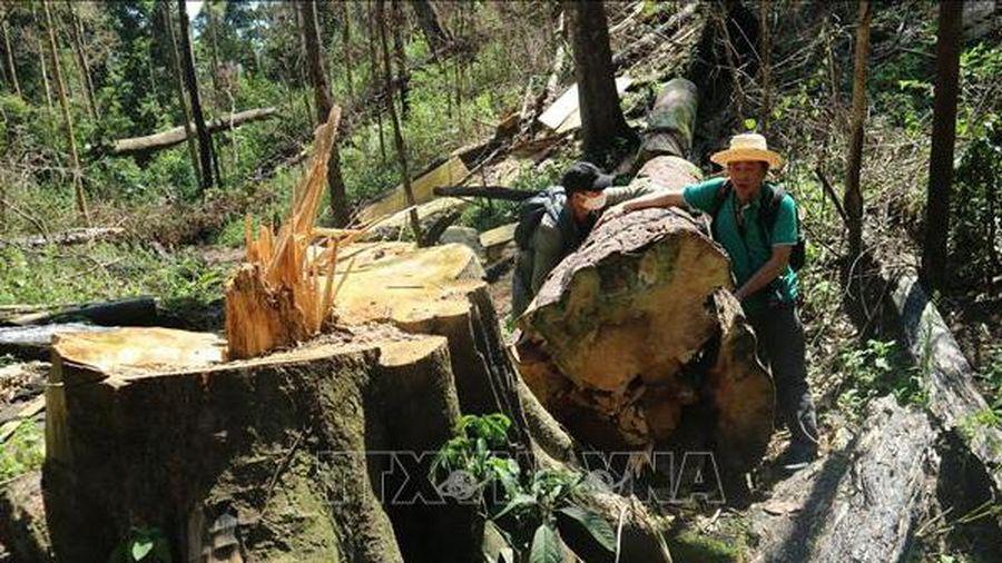 Khởi tố vụ án, bắt khẩn cấp hai đối tượng liên quan vụ phá rừng bạch tùng ở Đạ Đờn