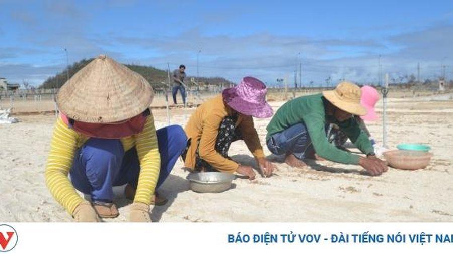 Gỡ khó cho nông dân trồng tỏi ở huyện đảo Lý Sơn