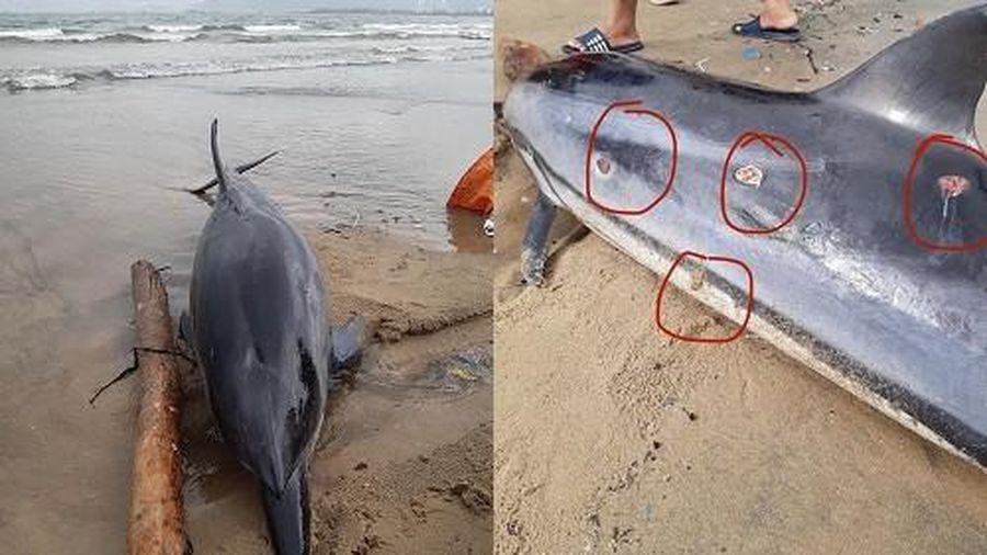 Đà Nẵng: Phát hiện xác một cá thể cá heo bị thương dạt vào bờ biển